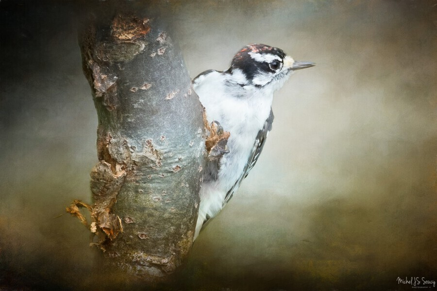 Juvenile male Downy Woodpecker  Print