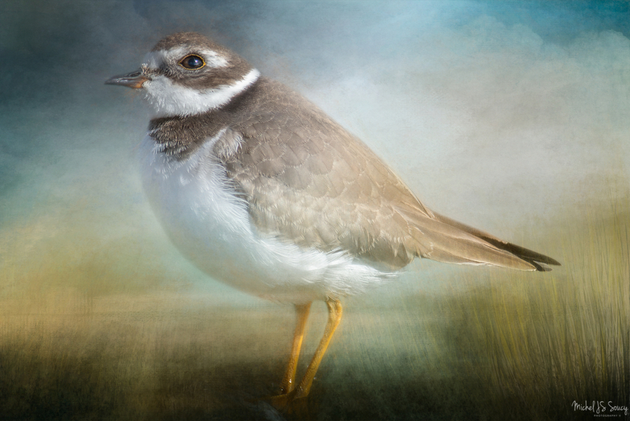 Semipalmated Plover  Print