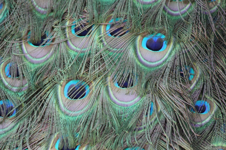 peacock feather pattern plumage  Print
