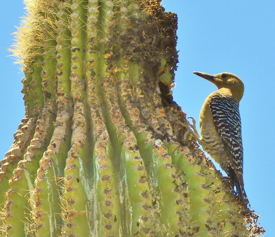 Cactus Wren  Print