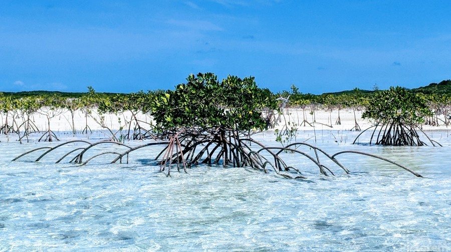 Mangroves in Estuary  Print