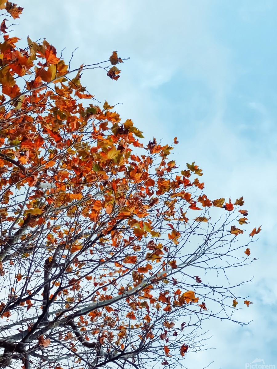 Tree branch with orange autumn leaves and blue cloudy sky  Print