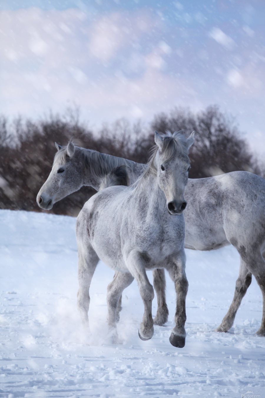 Horses in the Snow  Print