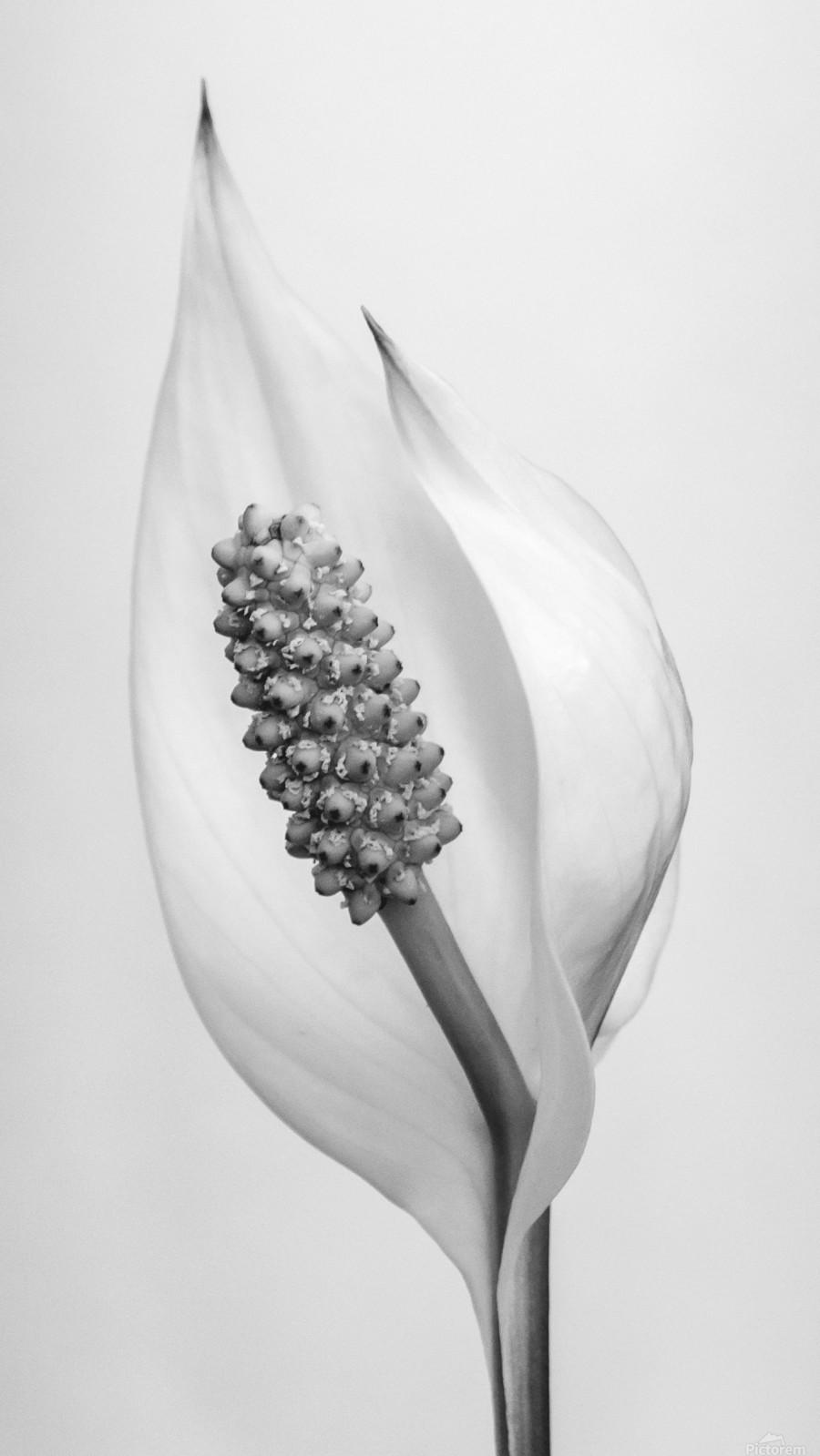 Peace lily  Imprimer