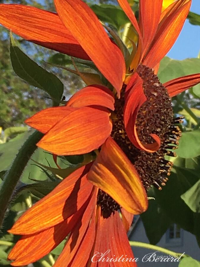 Sunflower seeds   Imprimer