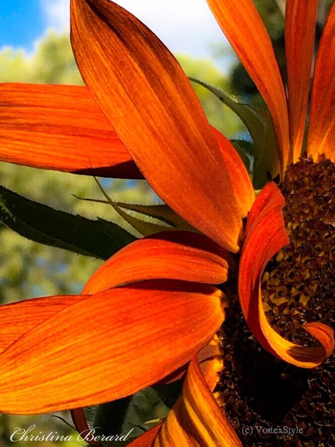 Sunflower   Imprimer