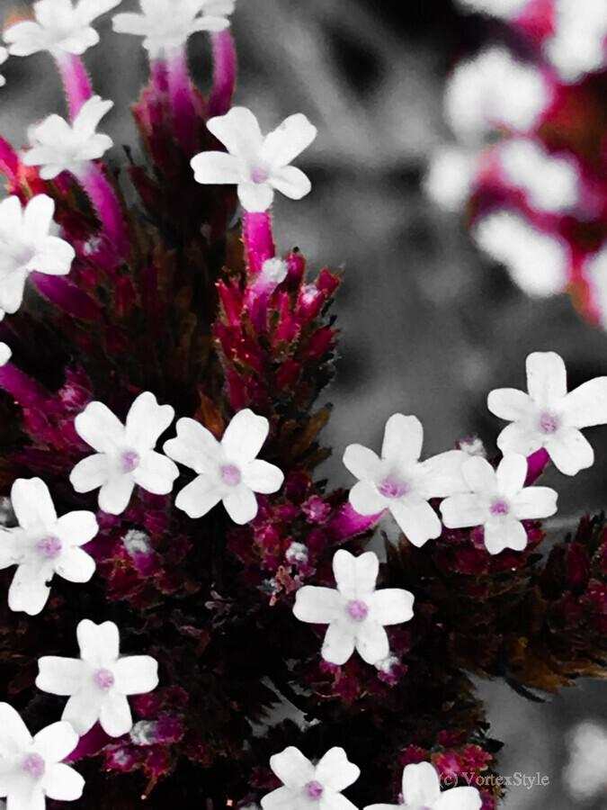 White bloom  Imprimer