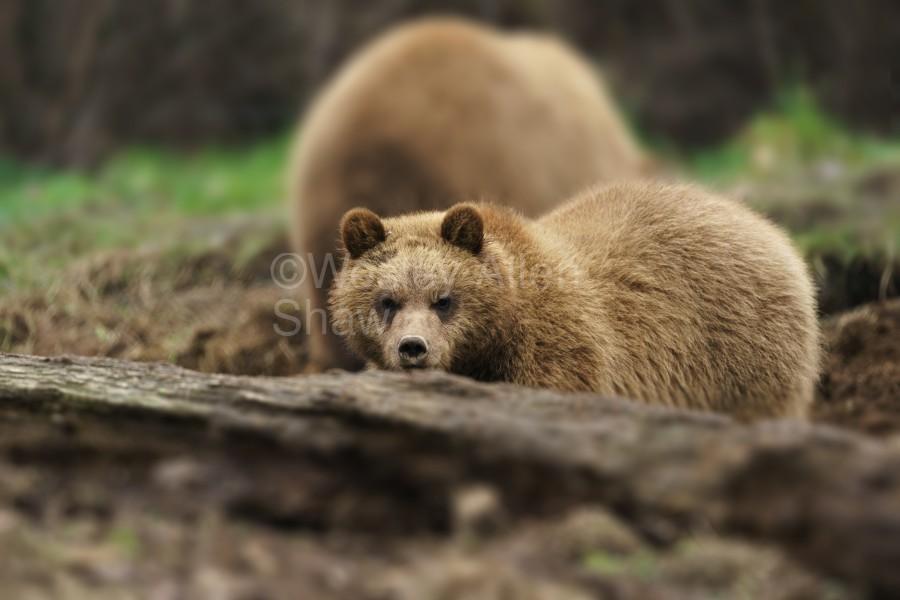 Grizzly Bear  Print