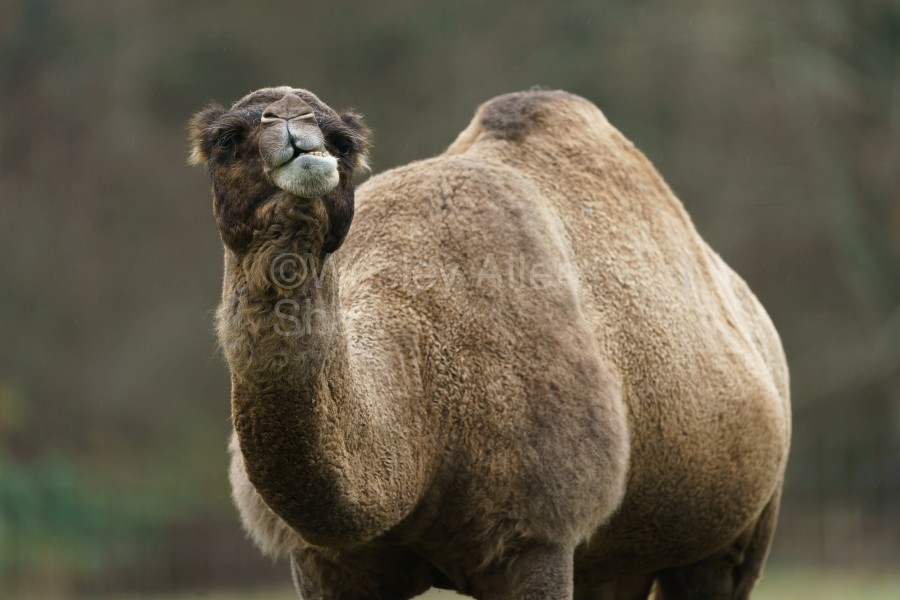 Camel  Print