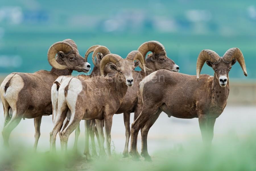 Bighorn Sheep  Print
