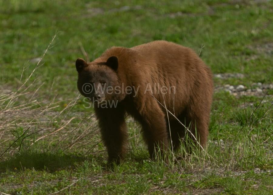 Cinnamon Black Bear  Print