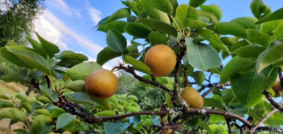 Asian Pears  Print