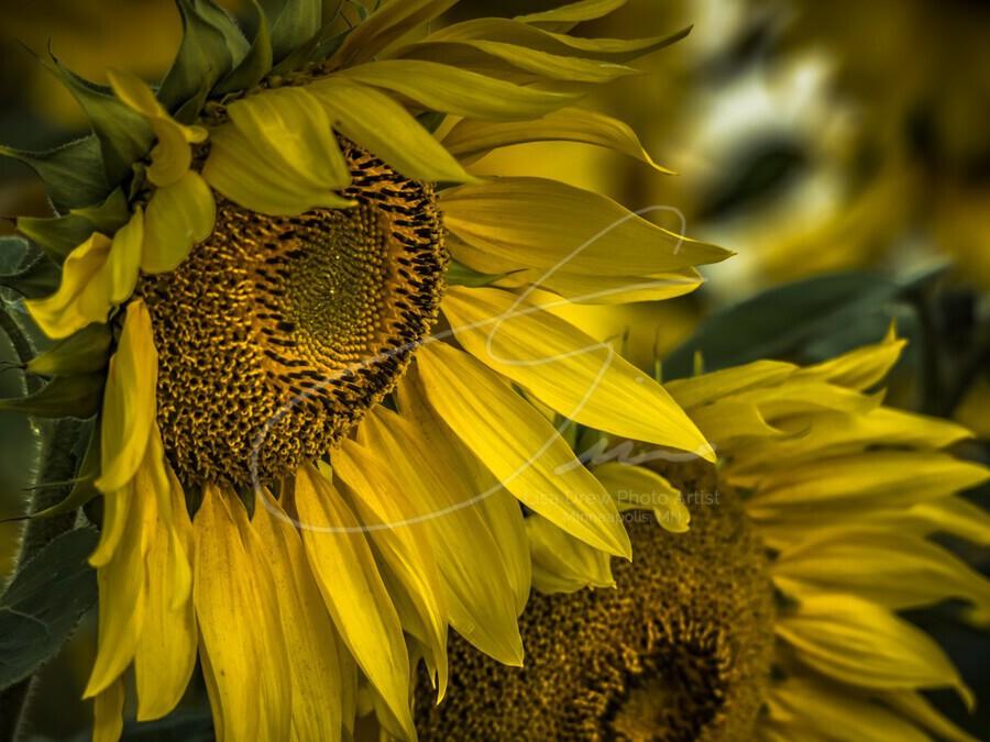Sunflower Dawn   Print