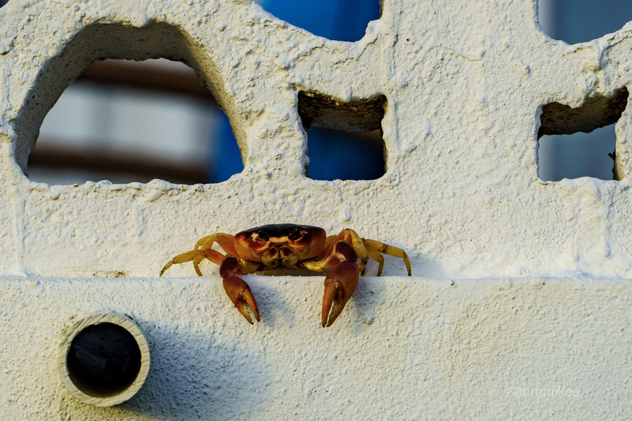 Cayman Crab Hanging Out  Print