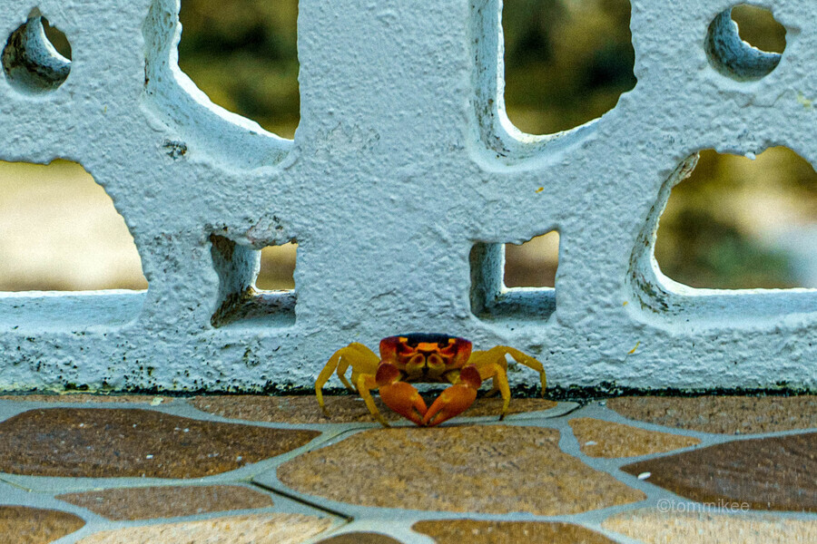 Cayman Crab  Print