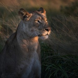 Lioness at firt day ligth