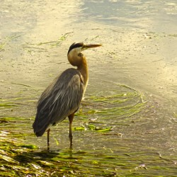Blue Heron At the Estuary