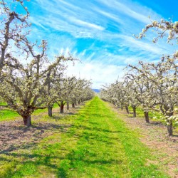 Spring at the Orchard Hood River Valley   Oregon Columbia Gorge