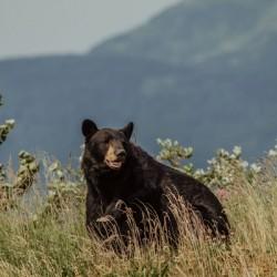 Black Bear Leadville