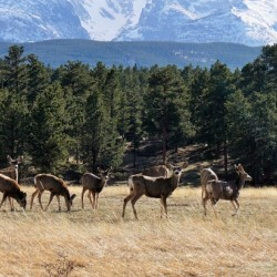 Deer Herd in the Valley