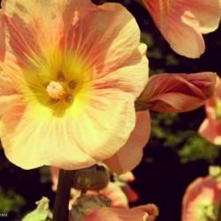 Mid Summer Blossom