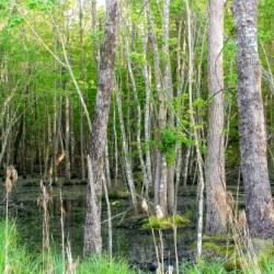 Swamp in Carolina