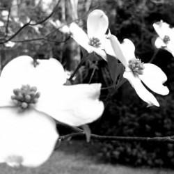 North Carolina Dogwood Flowers