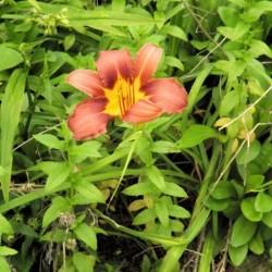 Oranger Lilly 4