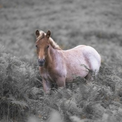 Wild Horses, New Forest