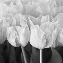 Bunch of Tulips close-up