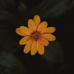 Blooming Yellow