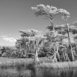 Blue cypress trees horizontal