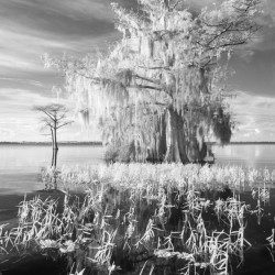 Cypress tree and grasses with reflection on Blue Cypress Lake Florida