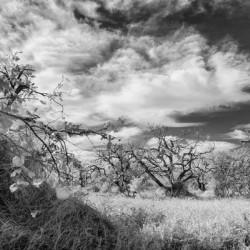 Infrared old orange grove