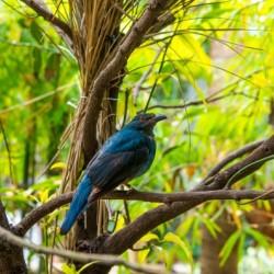 Asian Fairy Blue Bird