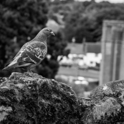 Black and White Pigeon