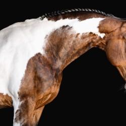 Paint Horse Portrait - Comanche