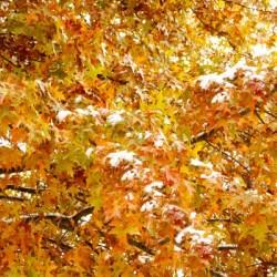 Snow on Golden Leaves