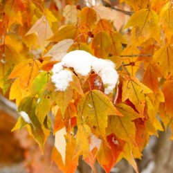 Snow Capped Leaves