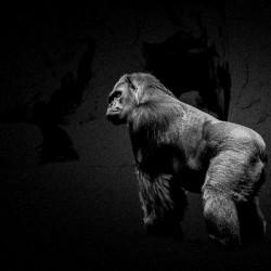 Silverback Gorilla Edit Edit