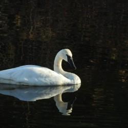 Trumpeter Swan at Estuary