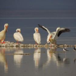 Pelican Reflections 2