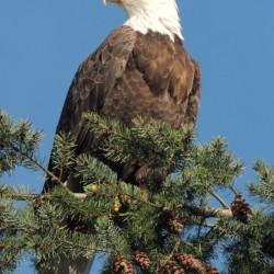 Bald Eagle at Herring Season
