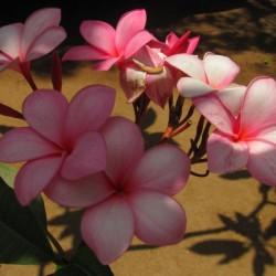 Pink Plumeria 2