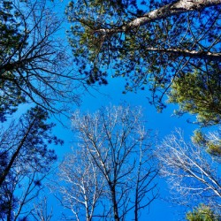 Towering Trees Bright Blue Sky