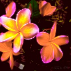 Frangipanis On The Glow