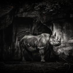 Rhino in Black & White