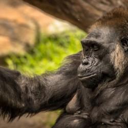 Quiet Gorilla Sleeping
