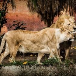 The Loving Lion Couple
