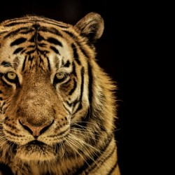 Massive Siberian Amur Tiger